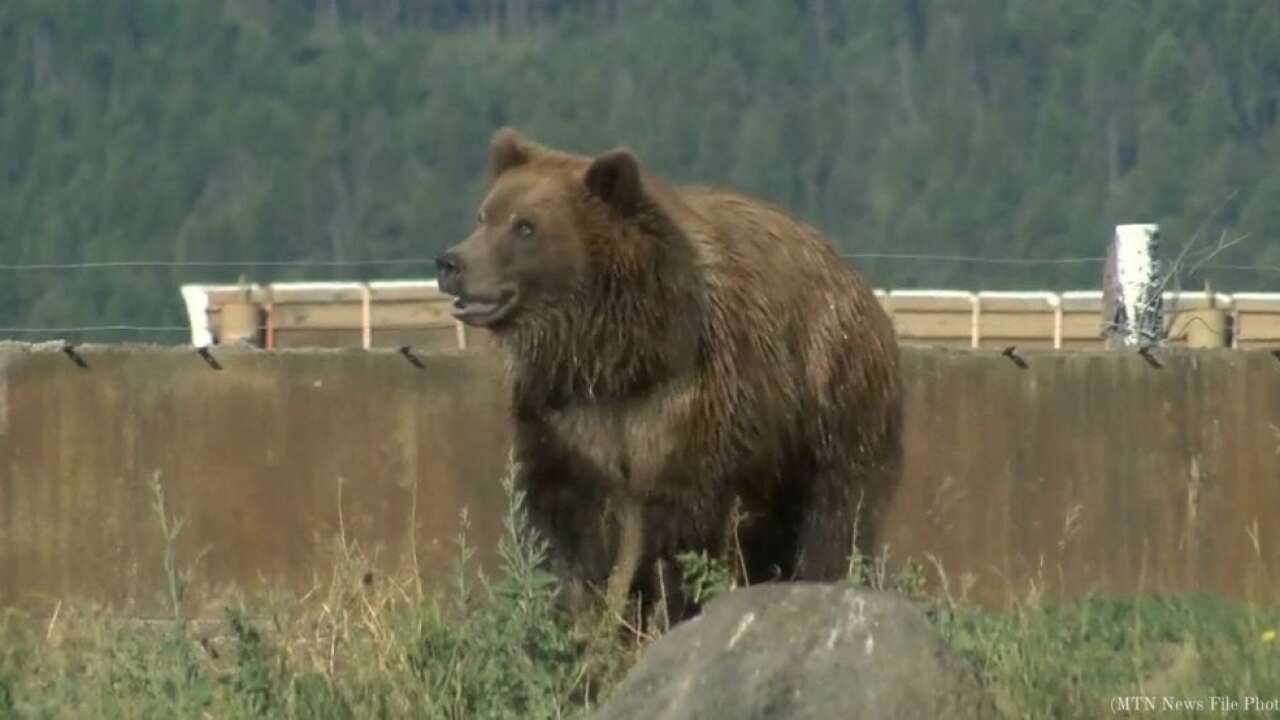Grizzly bear spotted several miles north of Great Falls