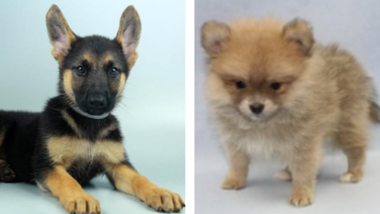 Puppies stolen from Las Vegas pet store
