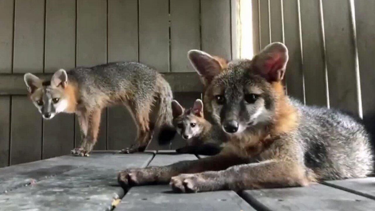 wptv-foxes.-.jpg