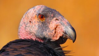 california condor nps .jpg