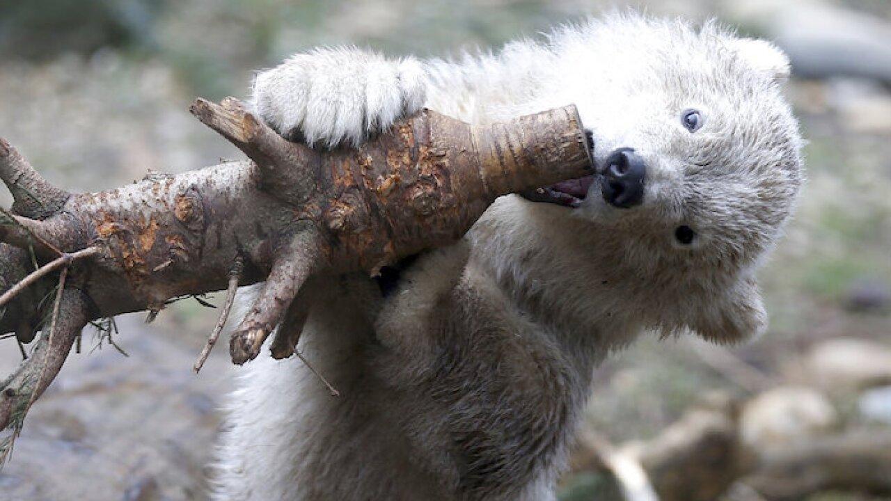 Austria Polar Bear Cub
