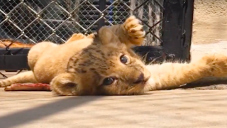 This Lion Cub Was The Model For Baby Simba In The 'Lion King' Remake
