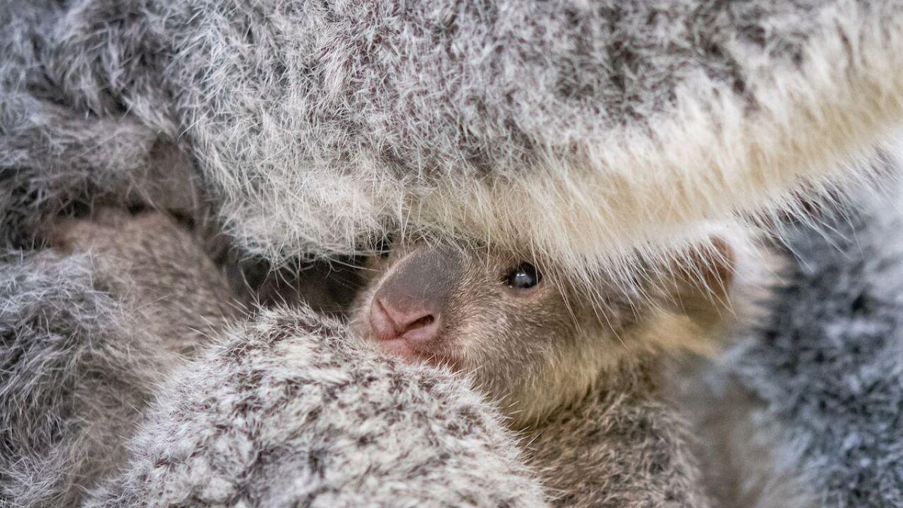 Baby Koala born at Cleveland Metroparks Zoo