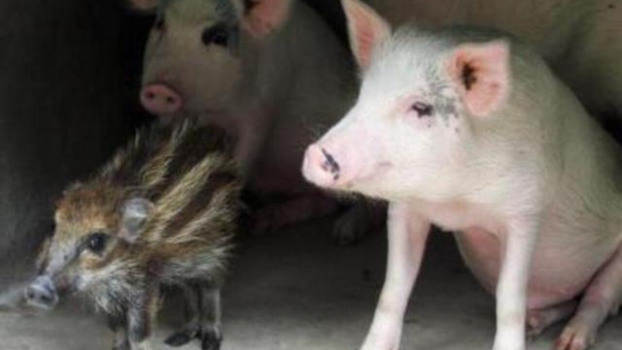 Pigs just one of many invasive species in Wisconsin