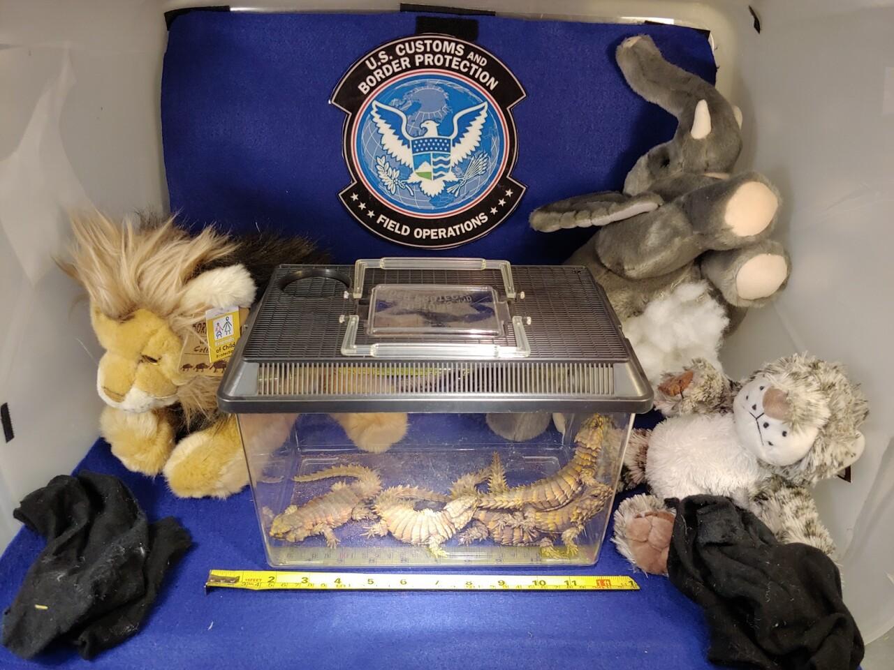 Armadilla Banded Lizard CBP Recovery.jpg