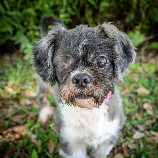 Billy_Shih Tzu mix.jpg