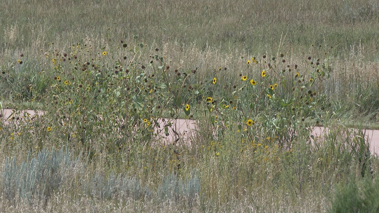 Tall dry vegetation in Colorado Springs