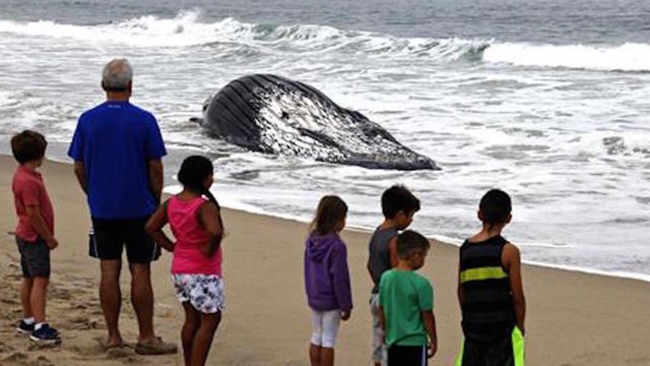 Giant dead whale towed off Calif. beach