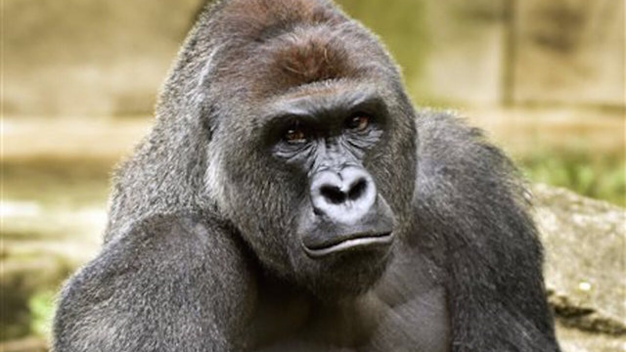 Zoo studying barrier changes after gorilla death