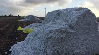 Cotton bales appear sliced open in San Patricio County