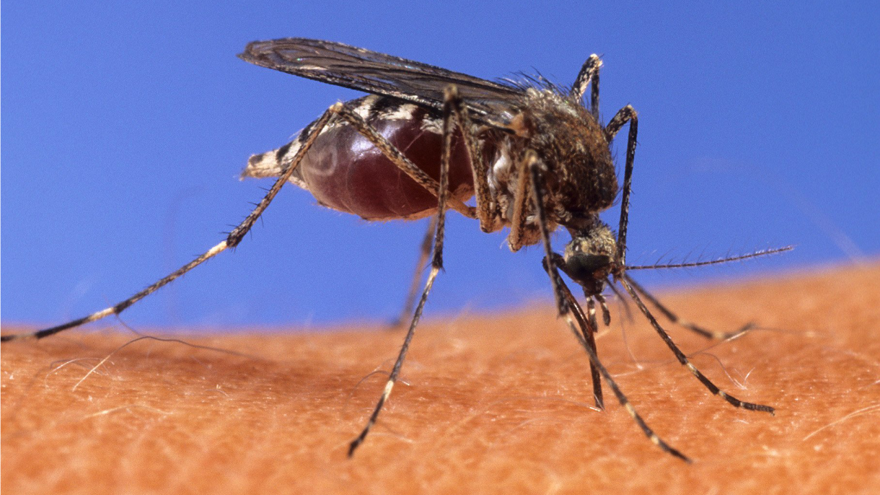 Scientists create new strain of malaria-blocking mosquito