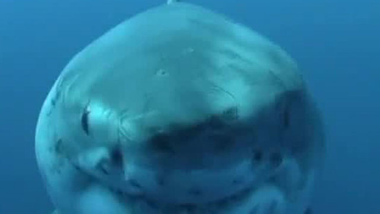 The importance of great white sharks; scientific community is testing & tagging sharks off Florida