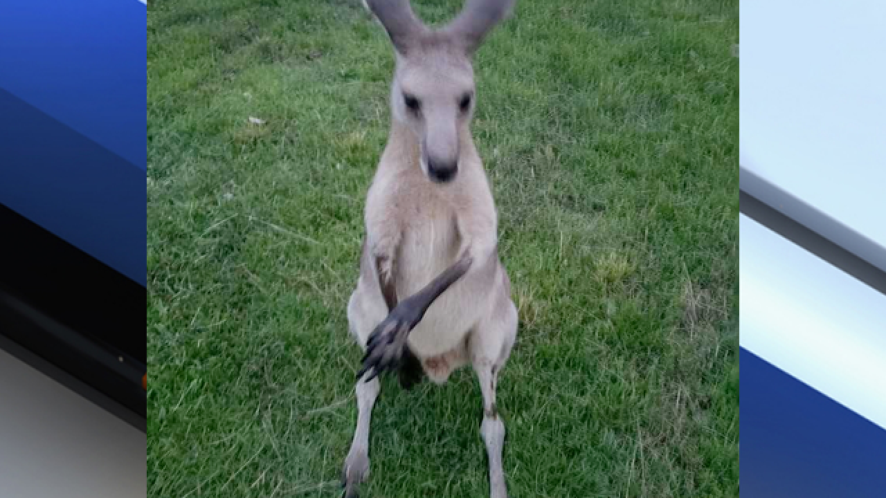 Once-missing kangaroo returned to owner after cage issues fixed