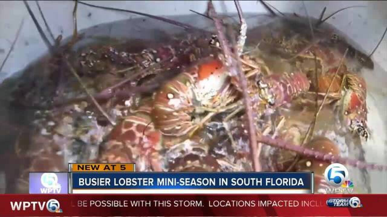 Riviera Beach dive shop reports significant increase in customers for lobster mini season