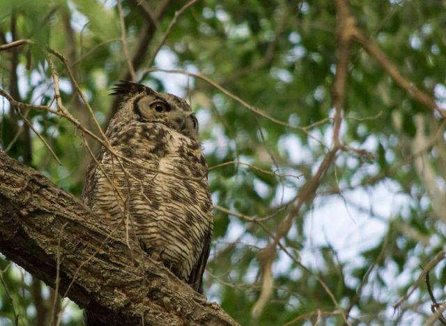 PHOTOS: Owls found in Las Vegas area