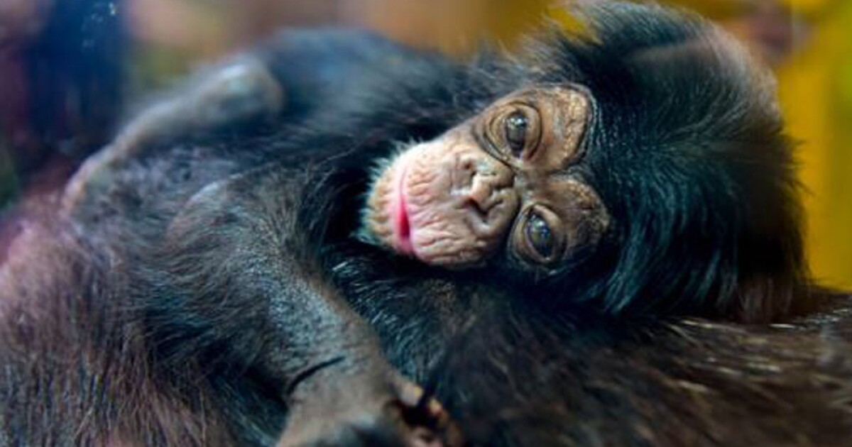 The Maryland Zoo announces name of baby chimpanzee