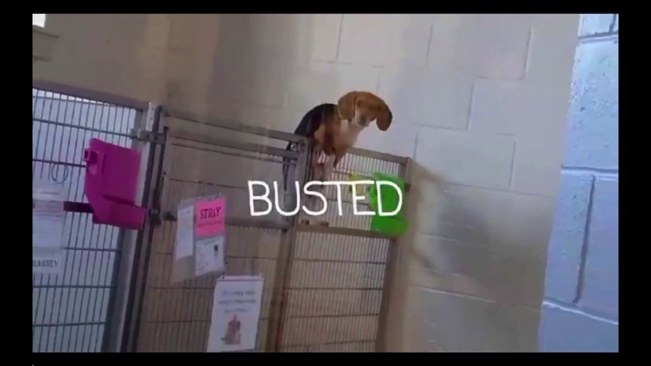 Video: Isle of Wight dog up for adoption climbs a fence 'Hound-ini' style