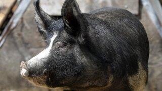 Pork Famers (AP)