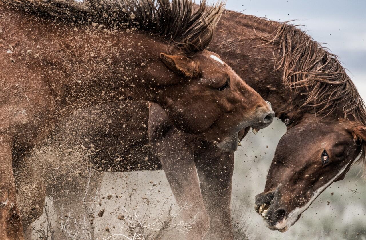 Mustangs se battant dans le bassin de lavage de sable_November_Scott Wilson.jpg