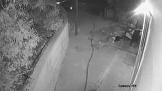 VIDEO: Cat fights off three coyotes outside California home