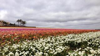 Carlsbad Flower Fields open March 1