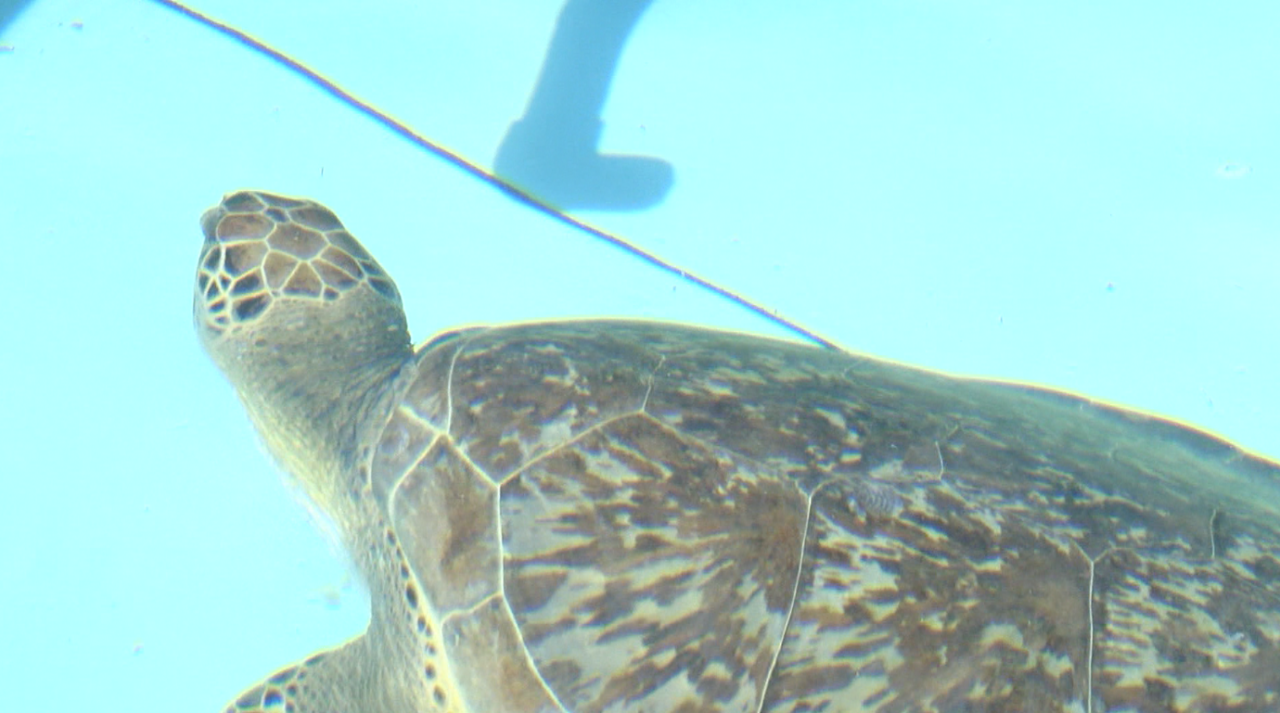 Volunteers continue life-saving efforts for cold-stunned sea turtles