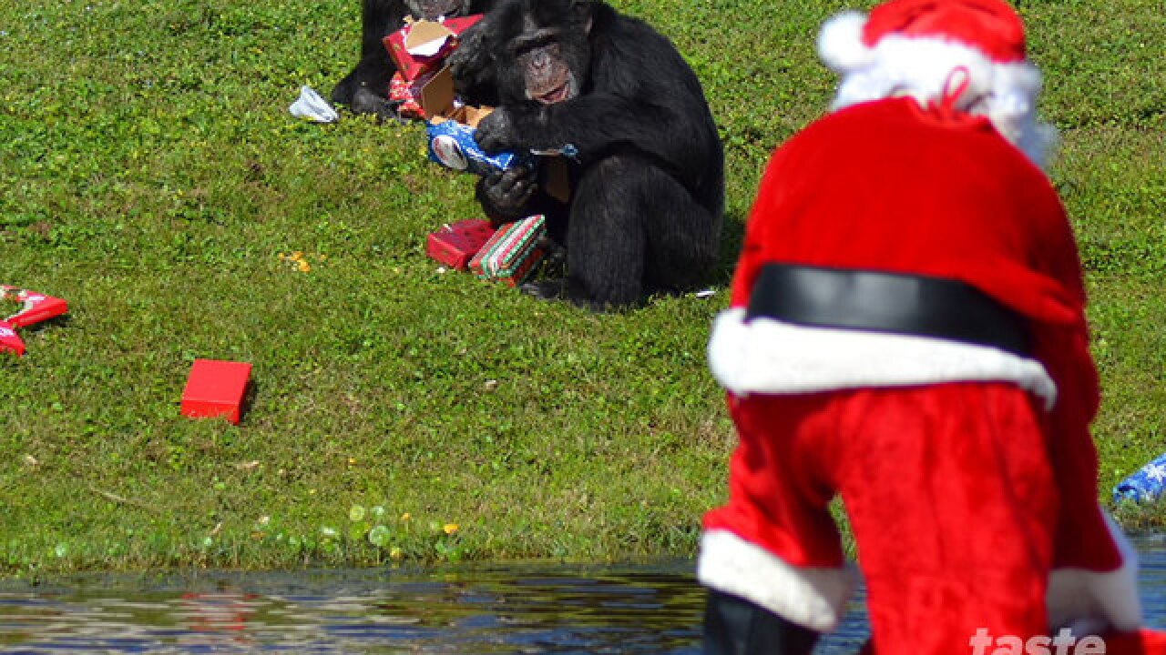 Santa brings chimps gifts at Lion Country Safari