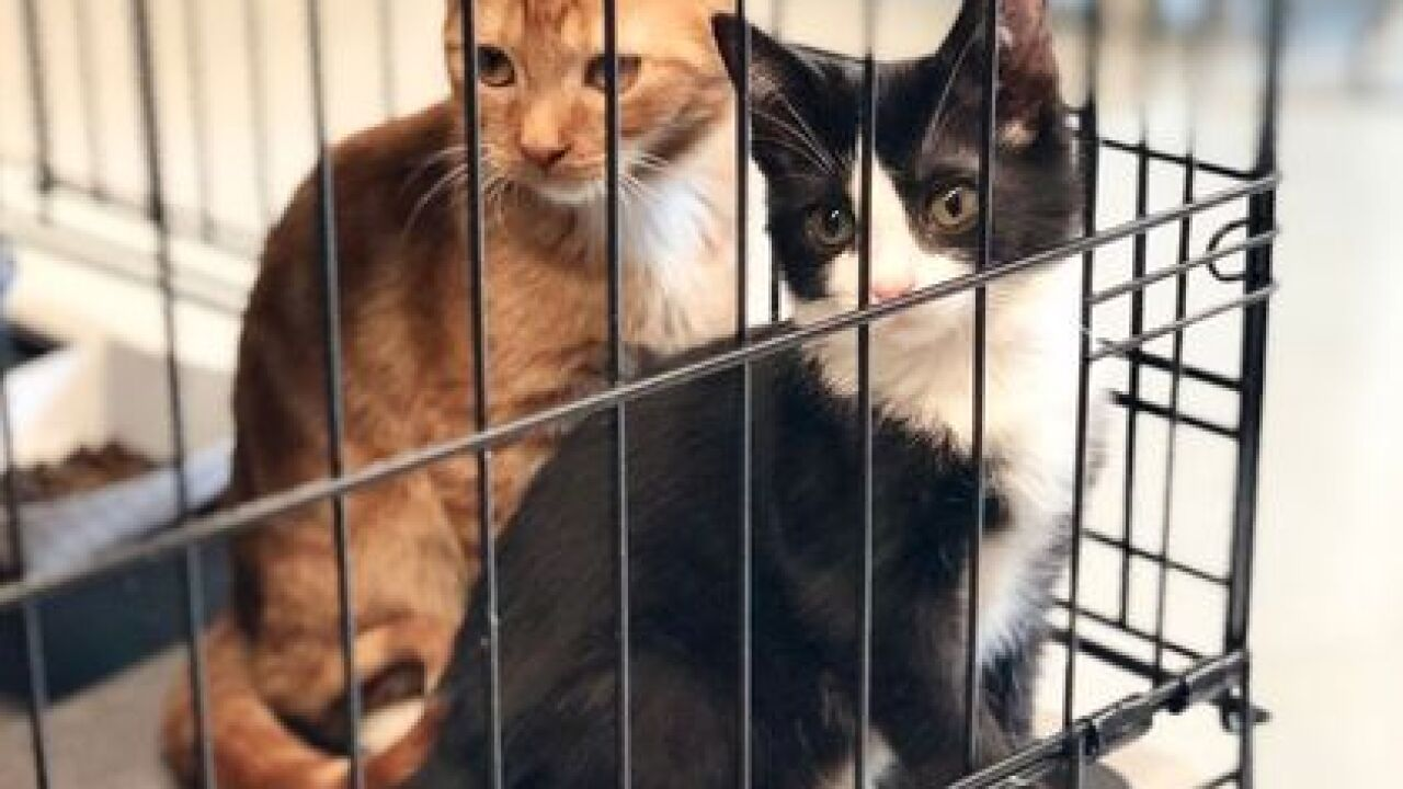 Judge grants custody of hoarded cats to IHS