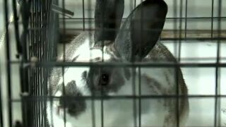 Fatal rabbit virus spreads to Southern Nevada