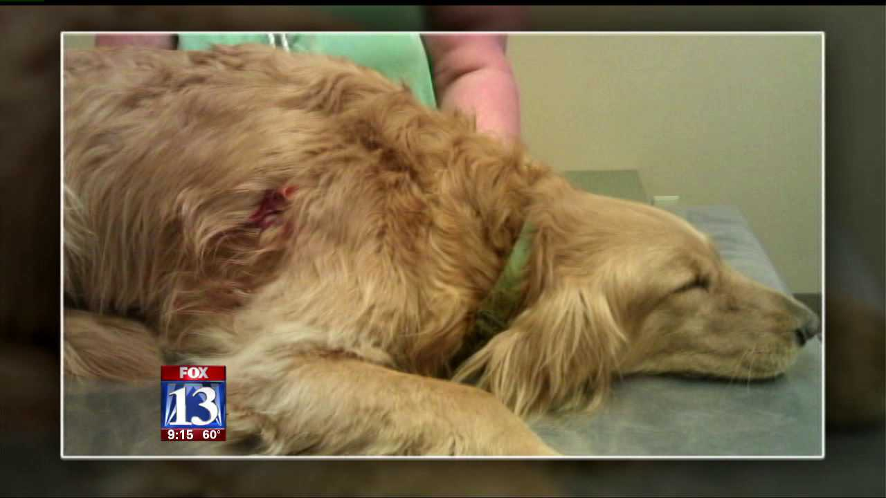 Dog recovering after being shot with blowgun