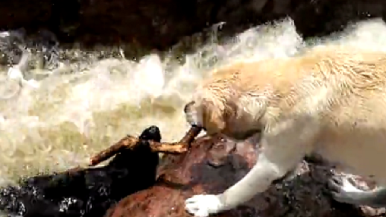 WATCH: Dog saves friend from drowning