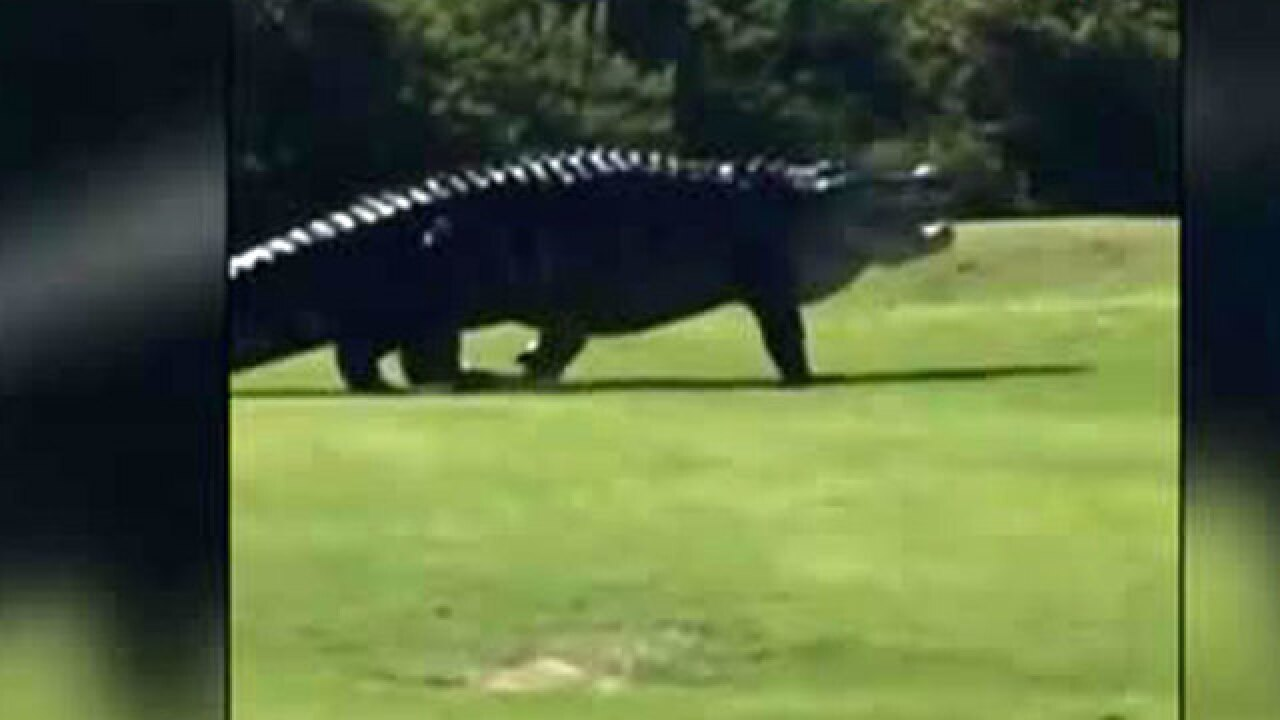 Video Monster Gator Roams Buffalo Creek Golf Course In Palmetto Florida