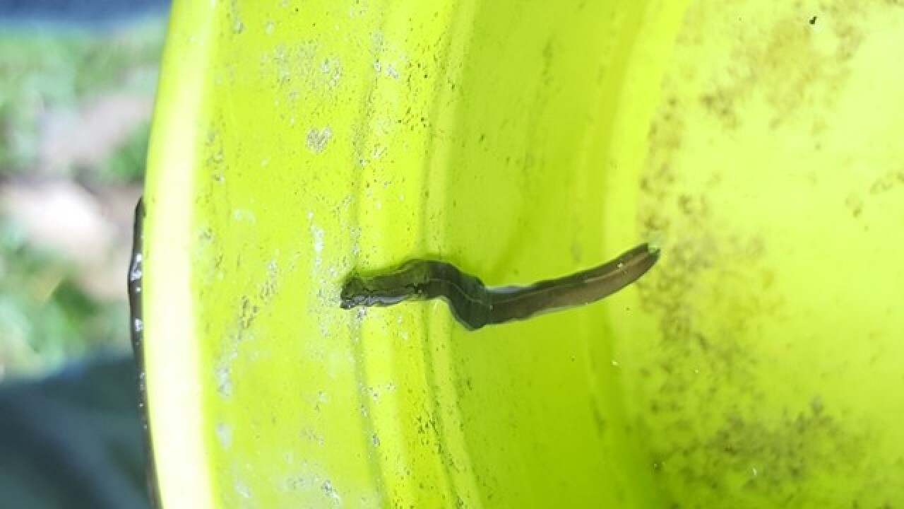 Invasive, dangerous worms in Cape