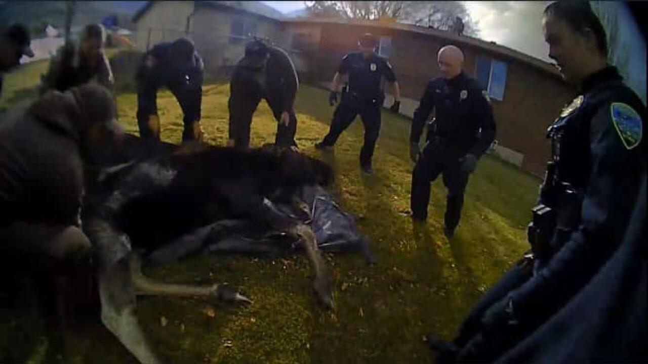 moose in centerville (5).jpg