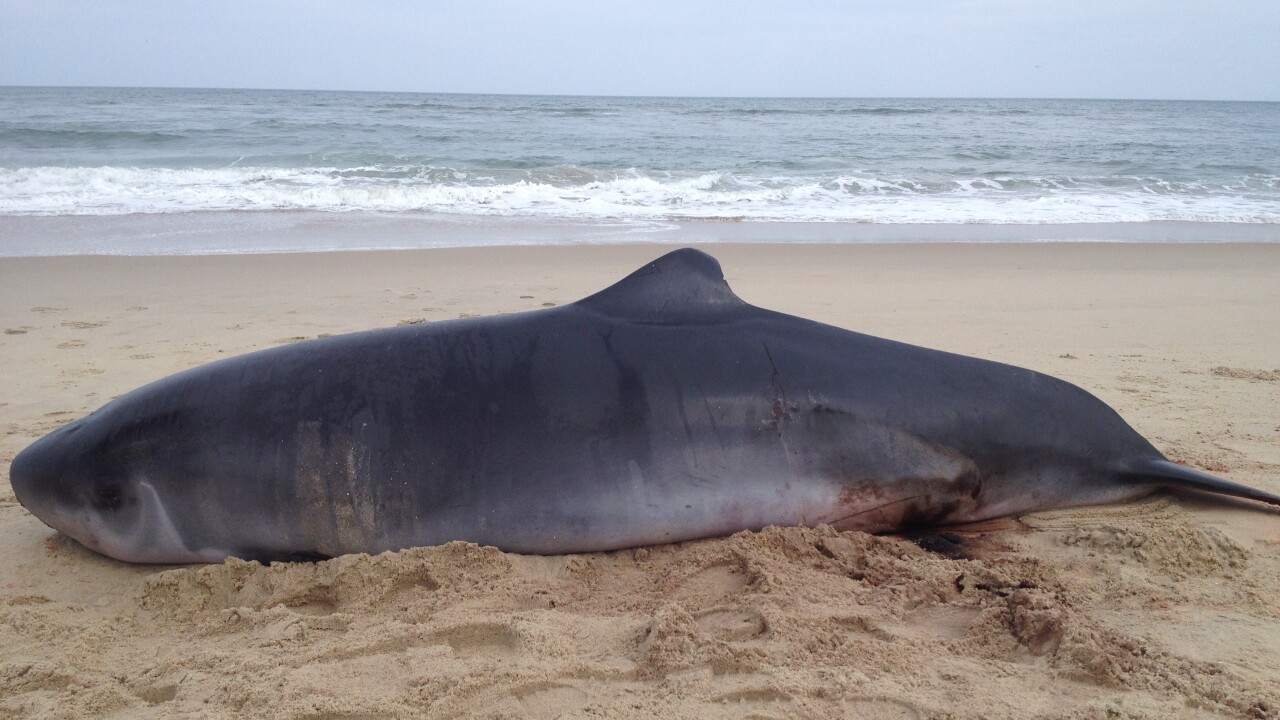 Two whales and a porpoise wash up on the Outer Banks