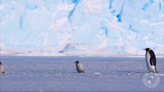 Video extra: Penguins waltzing through Antarctica