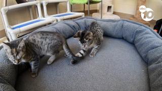 blind chula vista kittens.png