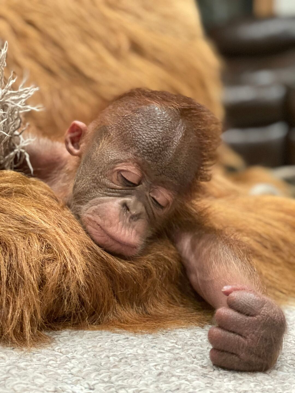 Baby Orangutan Metro Richmond Zoo 2.jpeg