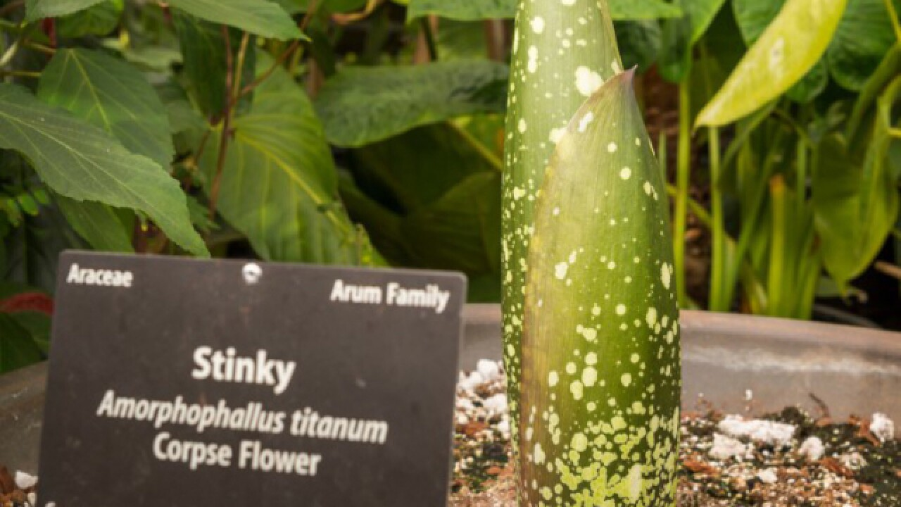 'Stinky' the corpse flower is blooming at the Denver Botanic Gardens