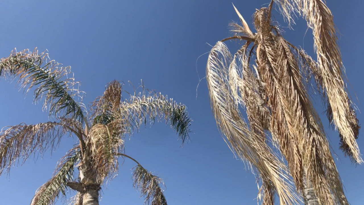 Dying Palm Trees