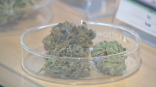 Pilot program allows doctors to prescribe marijuana over opioids in effort to combat crisis