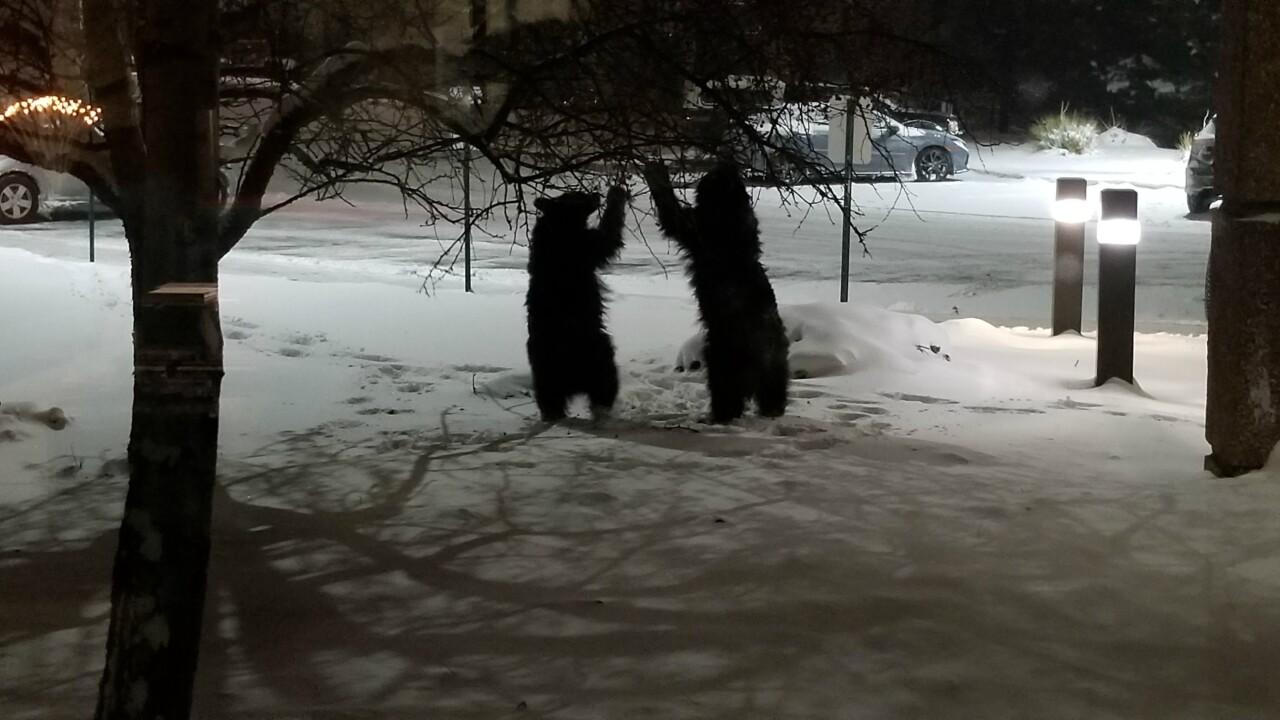 Bear cubs at KOAA