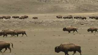 Too many hunters, too little space: Proposal to close bison hunt area