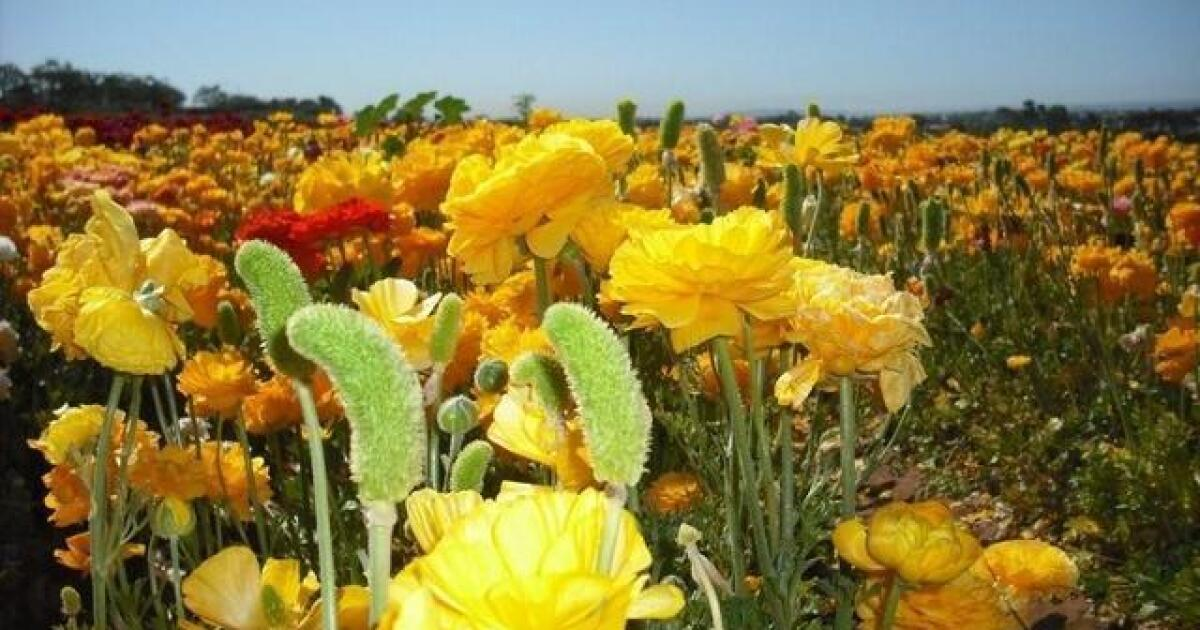 Exploring San Diego: Circus acts, Flower Fields open, Mariachi Fest
