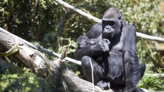Baby Gorilla Injured