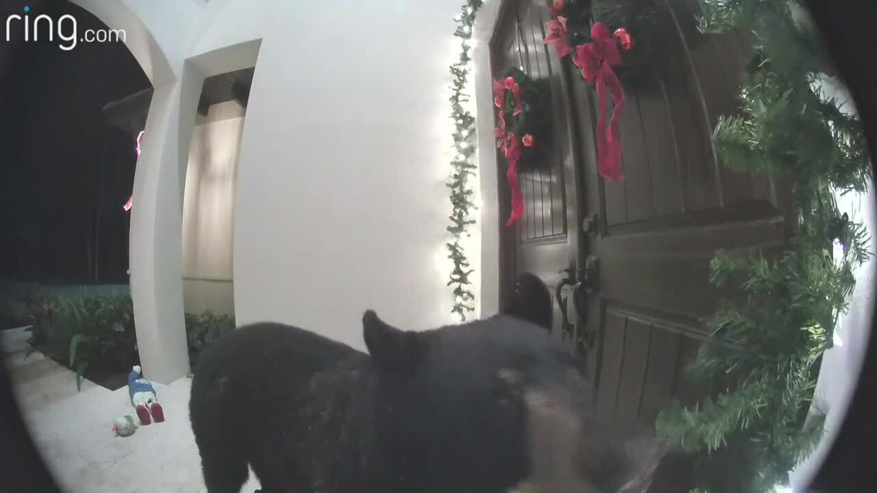 WATCH Bear Rings Doorbell At Florida Home While Rummaging Through Decorations