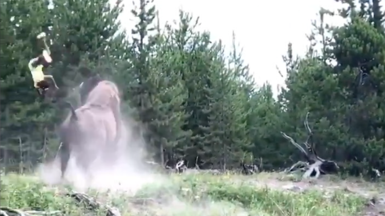 Bison tosses girl into air