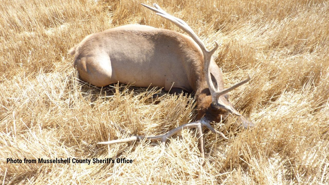 Another elk poached in Musselshell County