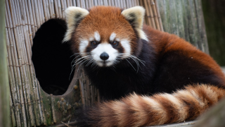 Columbus Zoo looking for missing red panda