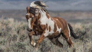 'He was like the Holy Grail': The life and legend of America's most famous wild horse